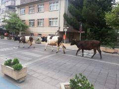 Şehir merkezinde dolaşan büyükbaş hayvanlar trafikte tehlike oluşturuyor