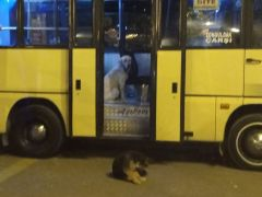 Sevimli köpek yolcu gibi dolmuşa bindi