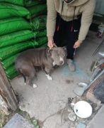 Yasaklı ırk köpekleri satarken yakalandı, 38 bin 252 lira ceza yedi
